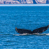 "A humpback whale displays its distinctive tail as it dives in Resurrection Bay near Seward.  <div class=""ss-paypal-button"">Filename: AKA-13-3901-70.jpg</div><div class=""ss-paypal-button-end"" style=""""></div>"