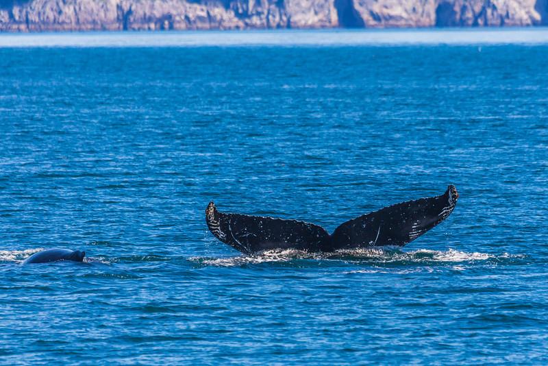 "A humpback whale displays its distinctive tail as it dives in Resurrection Bay near Seward.  <div class=""ss-paypal-button"">Filename: AKA-13-3901-70.jpg</div><div class=""ss-paypal-button-end"" style=""""></div>"