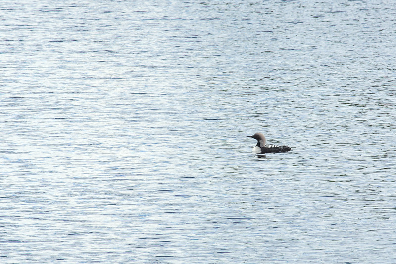 "A common loon swims through a pond along the Dalton Highway, about 250 miles north of Fairbanks.  <div class=""ss-paypal-button"">Filename: AKA-14-4213-214.jpg</div><div class=""ss-paypal-button-end""></div>"