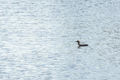 A common loon swims through a pond along the Dalton Highway, about 250 miles north of Fairbanks.  Filename: AKA-14-4213-214.jpg