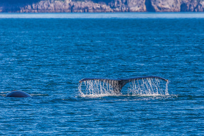 A humpback whale displays its distinctive tail as it dives in Resurrection Bay near Seward.  Filename: AKA-13-3901-69.jpg