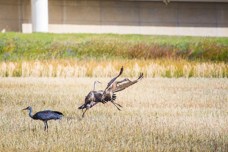 "Sandhill cranes stop off in the field below the Butrovich Building on UAF's West Ridge on their way south for the winter.  <div class=""ss-paypal-button"">Filename: AKA-12-3527-79.jpg</div><div class=""ss-paypal-button-end"" style=""""></div>"