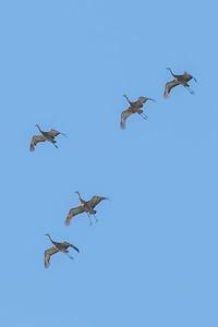 Migrating sandhill cranes prepare for landing near the Fairbanks campus before their long journey south.  Filename: AKA-14-4265-33.jpg