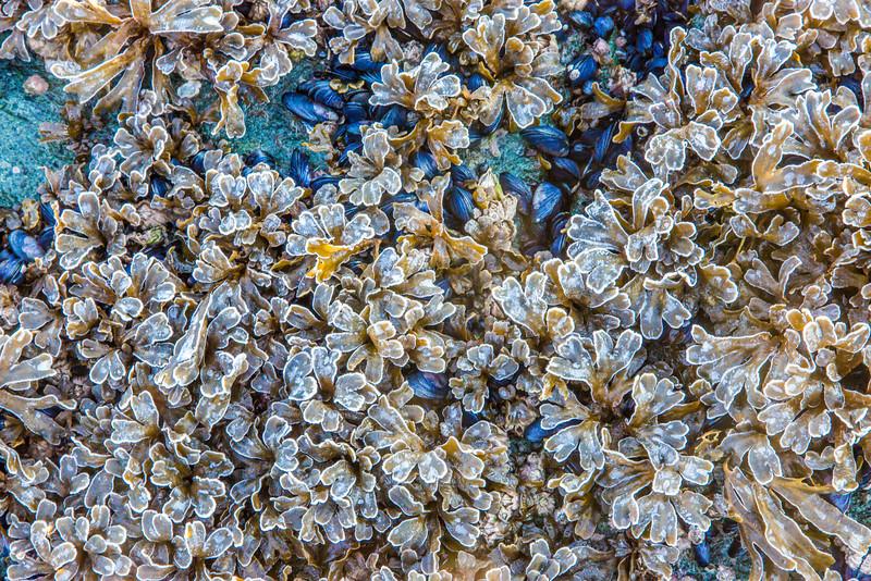 """Frosty kelp and mussels cover the rocks at low tide north of Juneau.  <div class=""""ss-paypal-button"""">Filename: AKA-14-4059-371.jpg</div><div class=""""ss-paypal-button-end"""" style=""""""""></div>"""