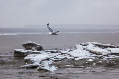 A gull flies over chunks of ice stranded on the mud flats just off shore from Dillingham's waterfront during break-up in late April.  Filename: AKA-12-3406-050.jpg