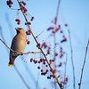 "Bohemian waxwings visit campus in mid-November 2012.  <div class=""ss-paypal-button"">Filename: AKA-12-3651-3.jpg</div><div class=""ss-paypal-button-end"" style=""""></div>"