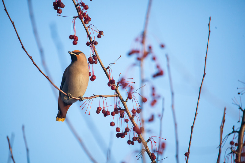 """Bohemian waxwings visit campus in mid-November 2012.  <div class=""""ss-paypal-button"""">Filename: AKA-12-3651-3.jpg</div><div class=""""ss-paypal-button-end"""" style=""""""""></div>"""
