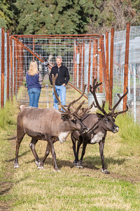 Research associate professor Greg Finstad is interviewed by local media in a reindeer pen at the UAF Agricultural and Forestry Experiment Station on the Fairbanks campus.  Filename: AKA-12-3526-4.jpg