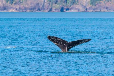 A humpback whale displays its distinctive tail as it dives in Resurrection Bay near Seward.  Filename: AKA-13-3901-63.jpg