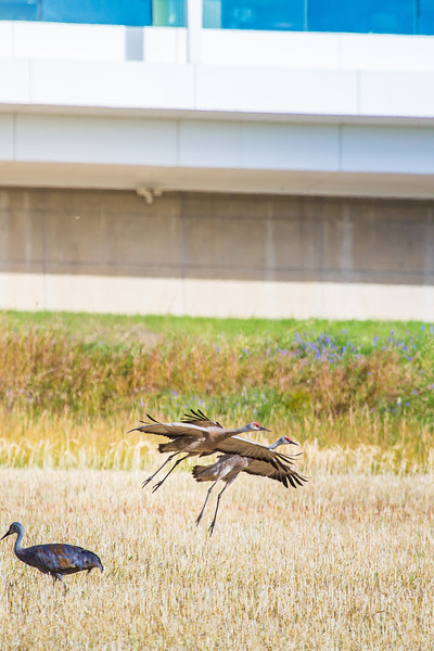 """Sandhill cranes stop off in the field below the Butrovich Building on UAF's West Ridge on their way south for the winter.  <div class=""""ss-paypal-button"""">Filename: AKA-12-3527-71.jpg</div><div class=""""ss-paypal-button-end"""" style=""""""""></div>"""