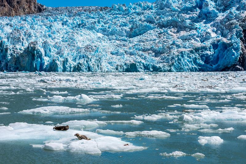 Sawyer Glacier Harbor Seals