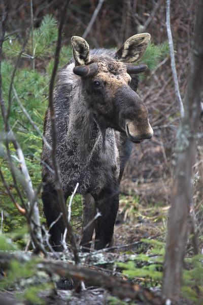 Moose I