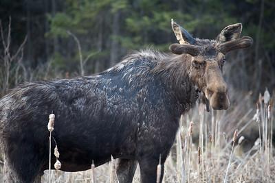 Moose III