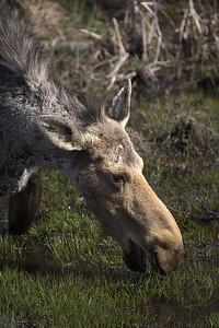 Moose IV
