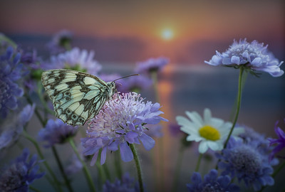 Marbled White Butterly