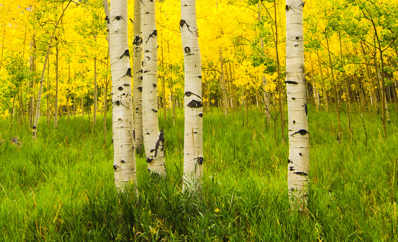 Aspen Grove