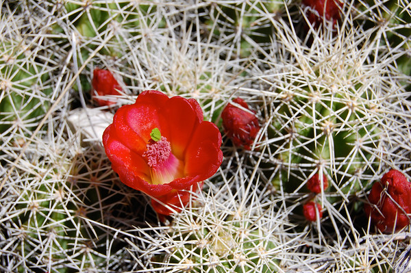 Flower Amid the Thorns