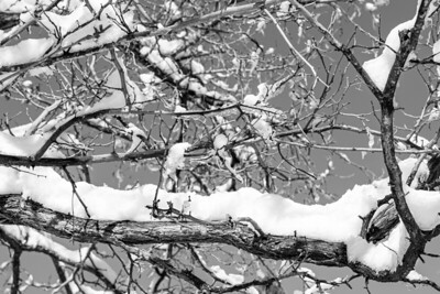 Black and white image of snow and ice covered tree branches.