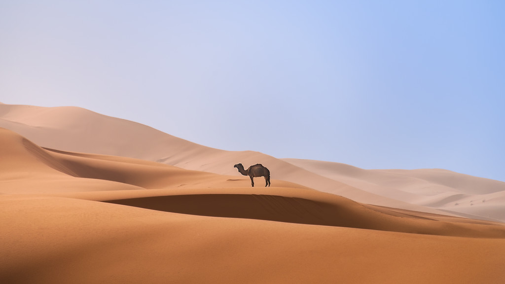 Photograph: Lone Camel - A lone camel walks across the Saharan sand dunes in the Erg Chebbi in Southern Morocco.