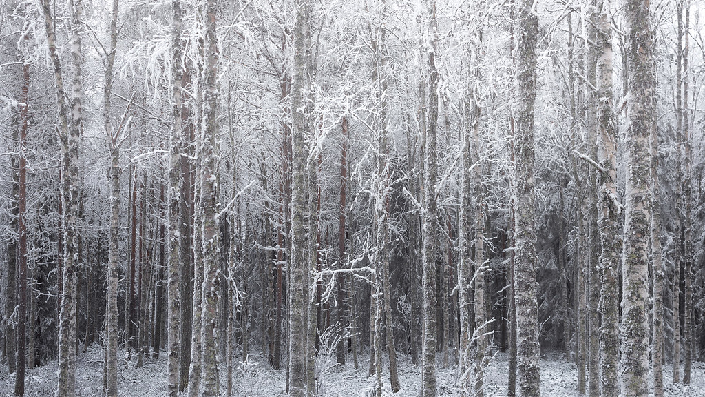 Photograph: Frozen Forest - A frozen forest inside the Arctic Circle in the very north of Finland.