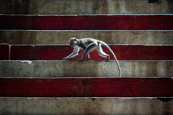 Photograph: Crossing The Steps - A Macaque monkey roams across the coloured steps deep inside the Batu Caves in Kuala Lumpur, Malaysia.