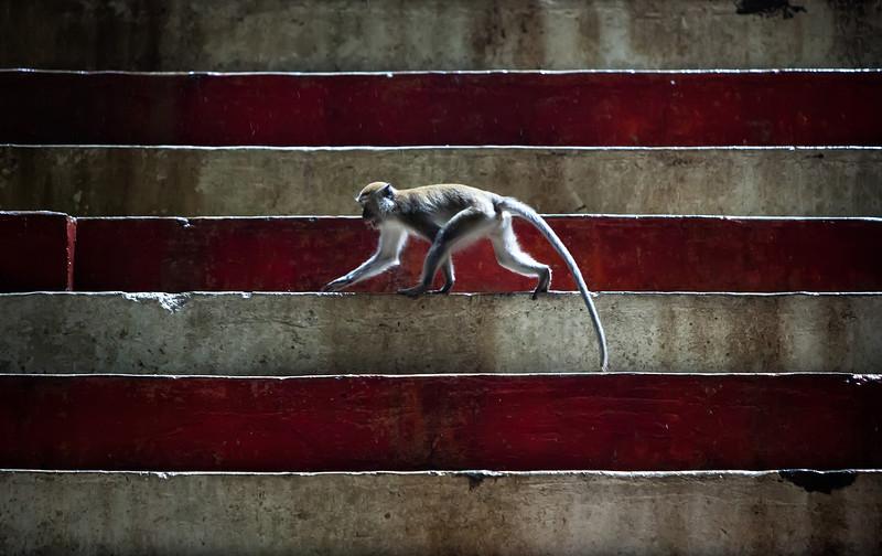 Monkey On The Steps<br /> A Macaque monkey roams across the coloured steps deep inside the Batu Caves in Kuala Lumpur, Malaysia.