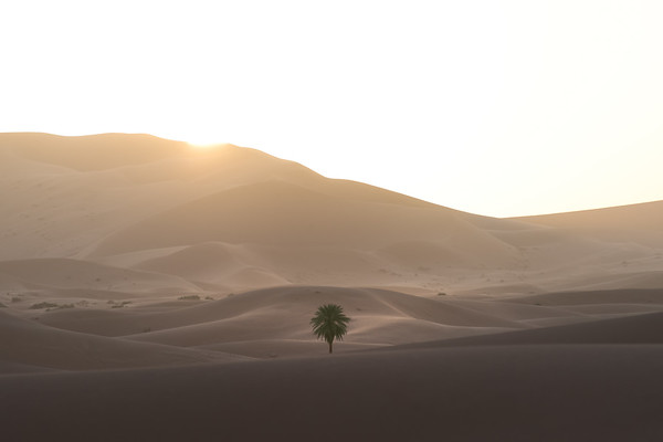 Photograph: Saharan Oasis - A lone palm tree grows amongst the sun-bathed sand dunes of Erg Chebbi in the Sahara Desert, Morroco.