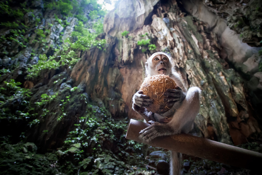 Photograph: Monkey Business - A Macaque monkey sits eating a coconut in the Batu Caves in Kuala Lumpur, Malaysia.