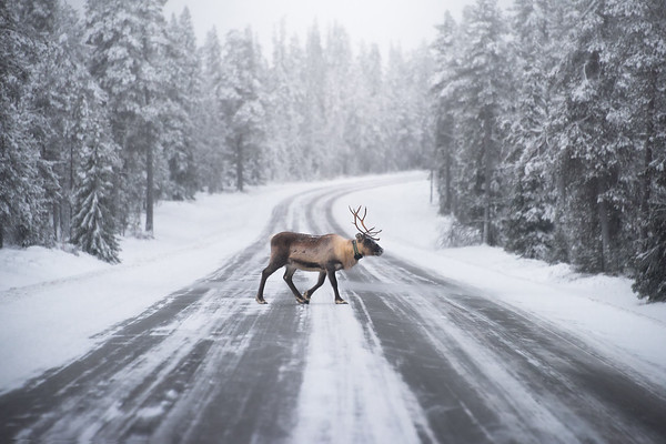 Photograph: Roadblock - A reindeer crosses a wintery road deep inside the Arctic Circle in Finnish Lapland.