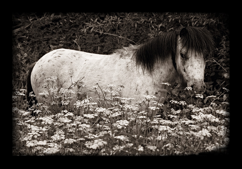 PONY IN FIELD OF FLOWERS