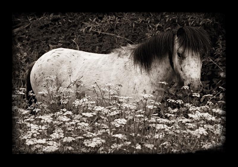 PONY IN FIELD OF FLOWERS