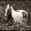HORSE IN FIELD OF FLOWERS