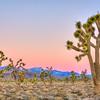 """Joshua Tree Forrest Sunset"" Death Valley, California"