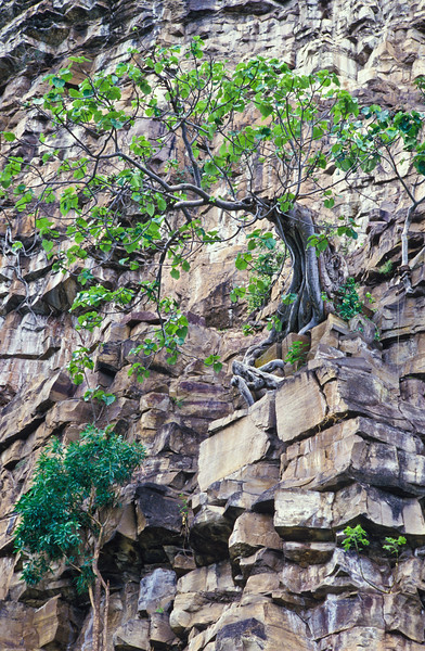 FIG TREE IN ROCKS, ZIMBABWE