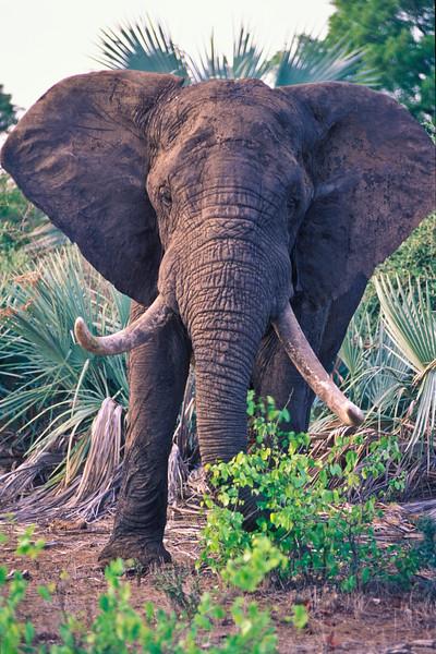 ELEPHANT, ZAMBEZI VALLEY ZIMBABWE