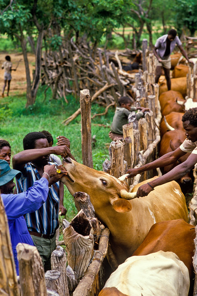 DOSING CATTLE, ZAMBEZI VALLEY ZIMBABWE