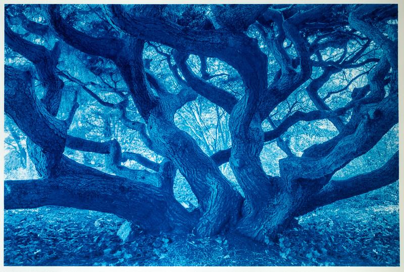 Medusa Tree