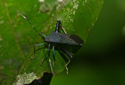 Passion Vine Bug (exact species TBI)