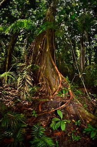Tree with vines, Yasuni National Park