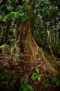 Tree with vines, Yasuni National Park