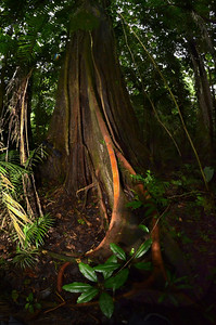 Tree Vine, Yasuni National Park
