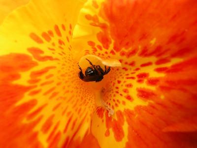 Stingless Bee inside flower