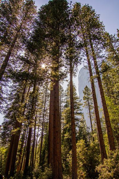 El Capitan Through the Trees El Capitan Meadow Yosemite National Park