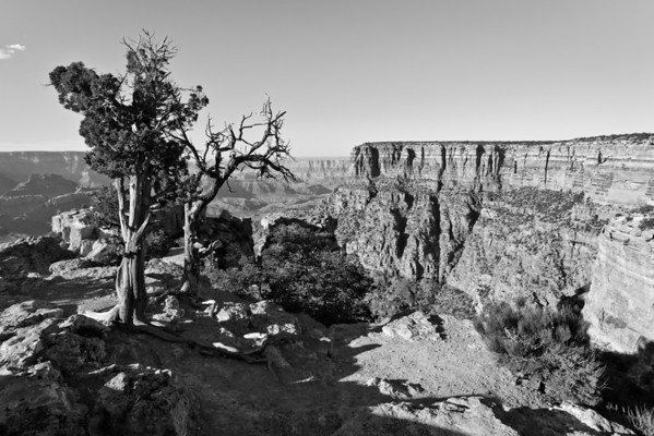 Widowed Juniper at Moran Point - Grand Canyon