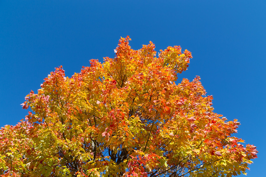 Maples Trees in the Fall