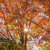 Tree in the Fall with Sunburst