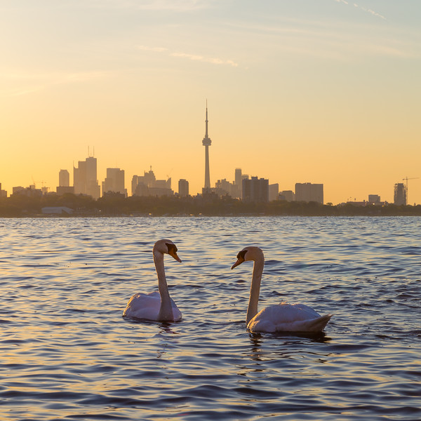 Toronto Skyline at Sunrise and a Swan