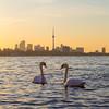 Toronto Skyline at Sunrise and a Swan