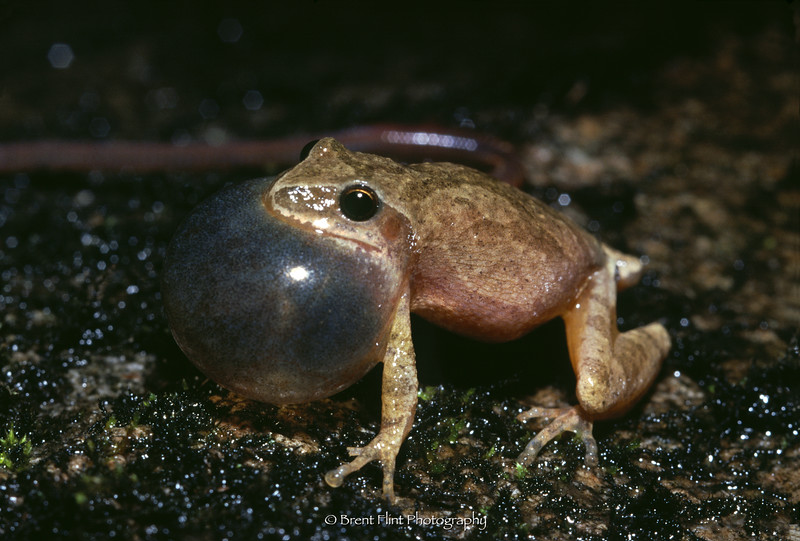 S.2378 - Spring peeper, Itasca County, MN.