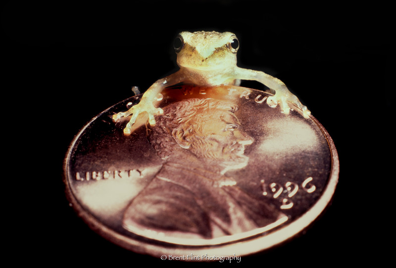 S.2525 - spring peeper on a penny